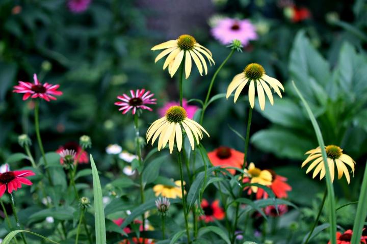 echinacea garden – 2ndsummer