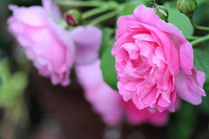 a new rosegarden
